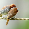 Yakking too much, Love or.....Lice! Spotted Munia