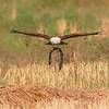 Brahminey Kite with eel at distance.