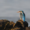 Common Kingfisher(one of the smallest Kingfishers) at the beach in the morning sun.