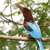 White-throated Kingfisher(also known by some as White-breasted Kingfisher...many thanks for the comments, Tom