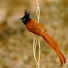 Paradise Fly Catcher in th jungle shade at iso 9000